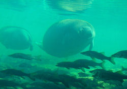 a manatee approaching the Fish Bowl underwater observatory, Homosassa Springs State Park
