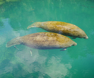 Two manatees in the Homosassa Springs Wildlife State Park, photo by Charles Hughes