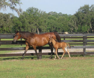 Ocala, Florida Hennessey Arabian LLC Horse Farm - Courtesy of Ocala Marion County Chamber of Commerce facebook page