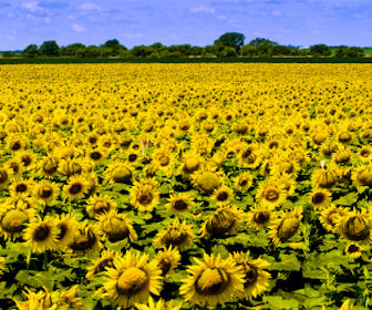 Kansas farmfield with Sunflowers